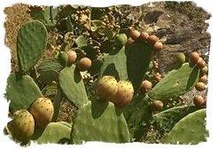 cactus_akermus