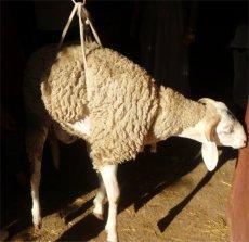 mouton_aukilo00230